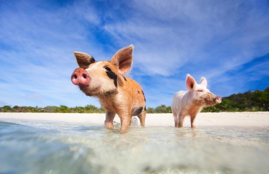 Багамы: Остров Pig Island приглашает поплавать со свиньями