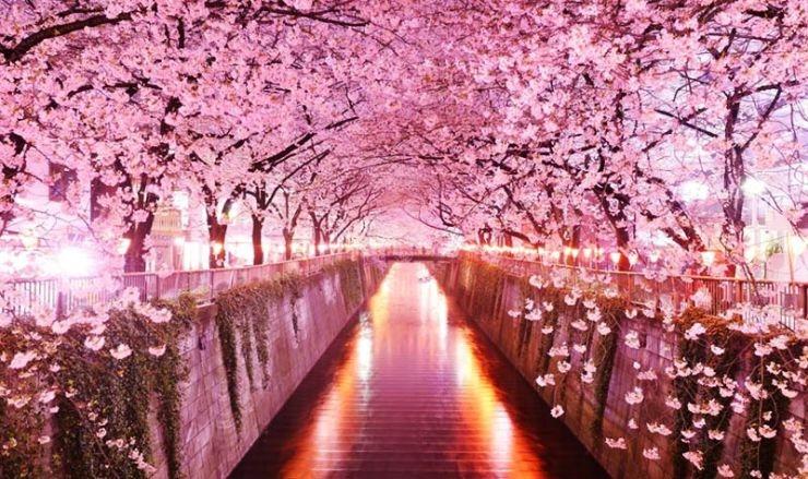 Сезон цветения сакуры